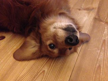 雨天 室内 犬 退屈