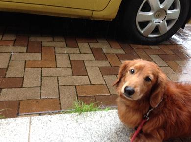 雨天 犬 ダックス