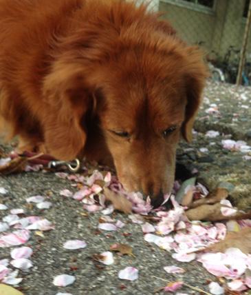桜の花びら sakura