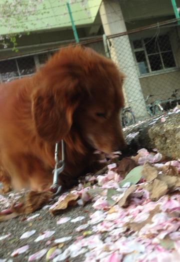 sakura  dog  桜犬
