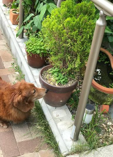 miniature dachshund japan