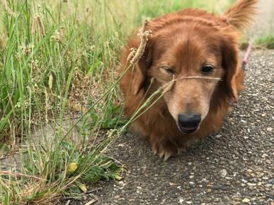 ダックス 犬 ポートレートモード 7plus