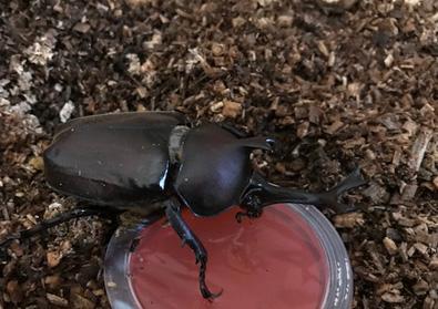 甲虫 成虫 画像