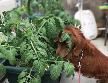 トマト大好き犬 ダックス リコピン