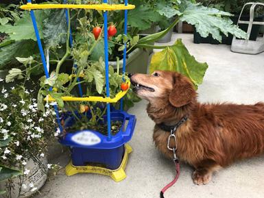 ミニトマト 大好き犬