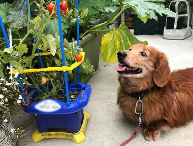 ミニトマト ダックス犬