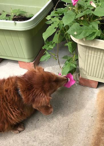 アサガオ 食べる犬