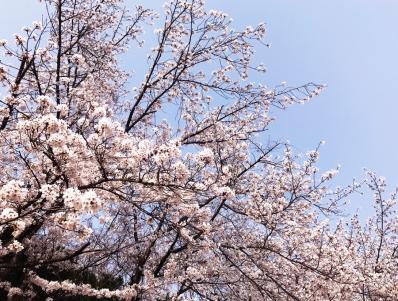南河内 桜 スポット