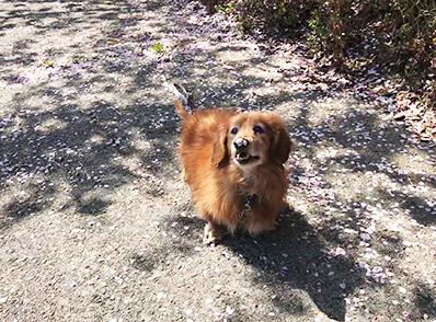 散歩 お花見 犬