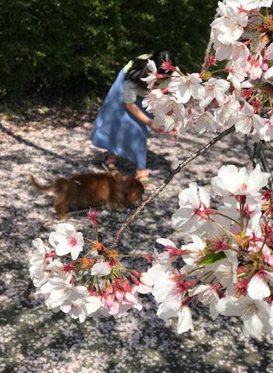犬とお花見 sakura dog