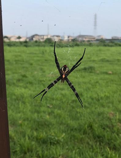 ガチタイプの蜘蛛