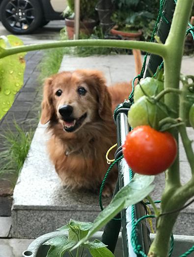 ミニチュアダックス トマト 犬
