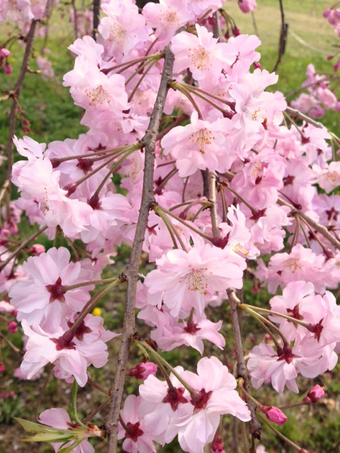 お花見 大仙公園