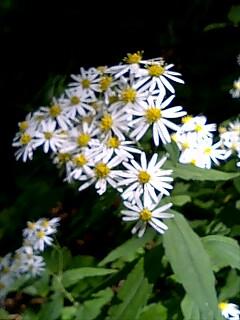 白い小菊?はいっぱい咲いてて、名前がわからん。