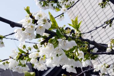 さくらんぼの花.jpg