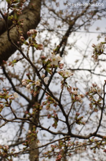 庭の桜開花