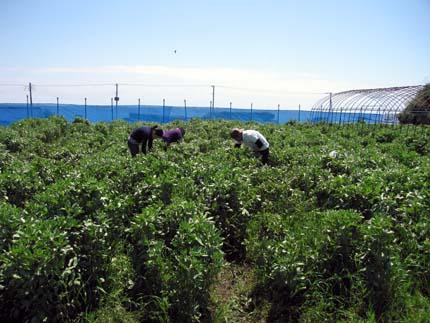 ソラマメ収穫風景