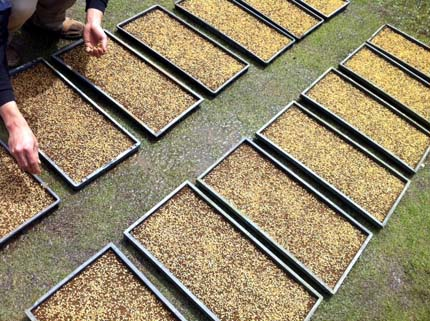 稲の種まき