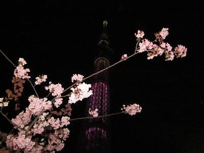 スカイツリー河津桜
