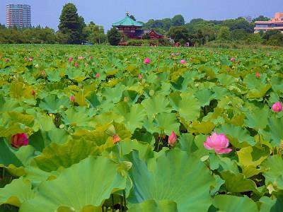 上野不忍池の蓮2