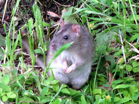 不忍池のネズミ