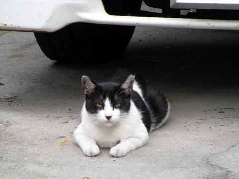 駐車場ネコ