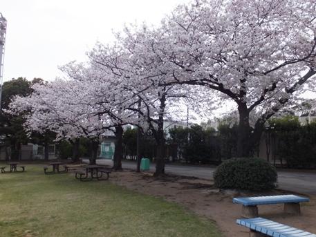 大井競馬場桜