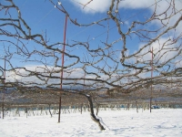 雪のブドウの樹