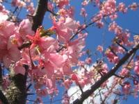 川津では桜が6分咲きで春