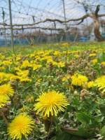ぶどう園ではタンポポが花盛りです