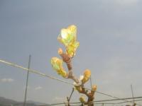 ブドウが芽吹きました