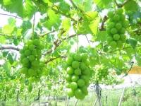 色付く前のブドウ