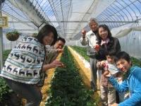 イチゴ狩り 清水農園 喬木村