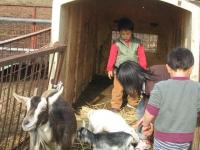 近所の牧場 ヤギの子供