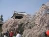 上田城址 桜 満開