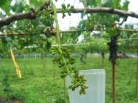 6月のブドウの房
