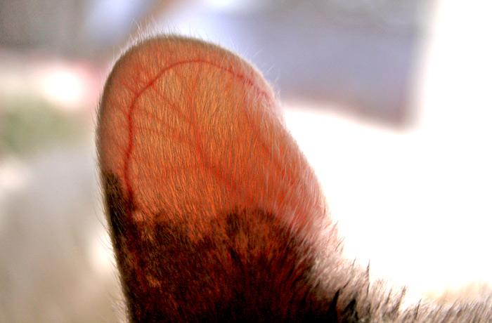 透け透け血管