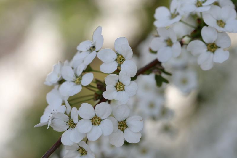 ユキヤナギの花、細部