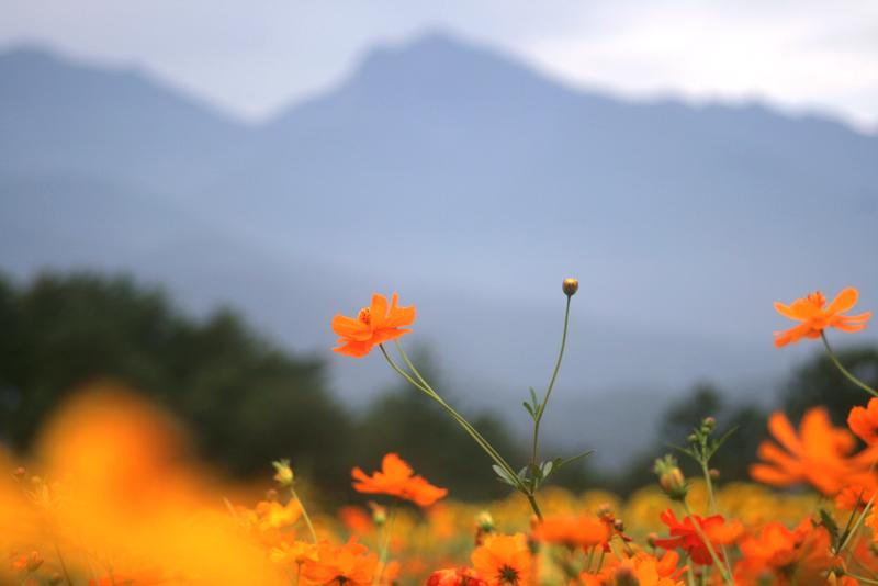キバナコスモスと甲斐駒ヶ岳のアップ