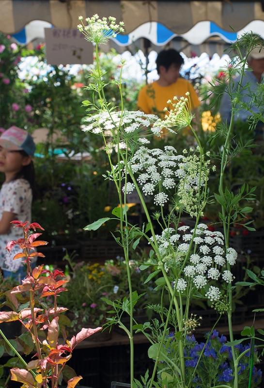 セリ科の野趣ある植物