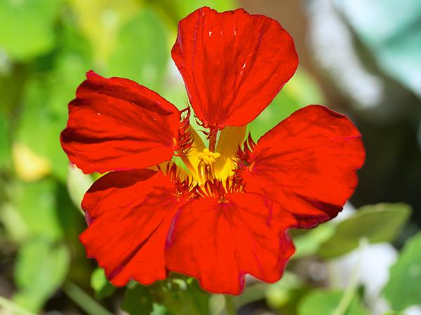 ナスタチウムの開花