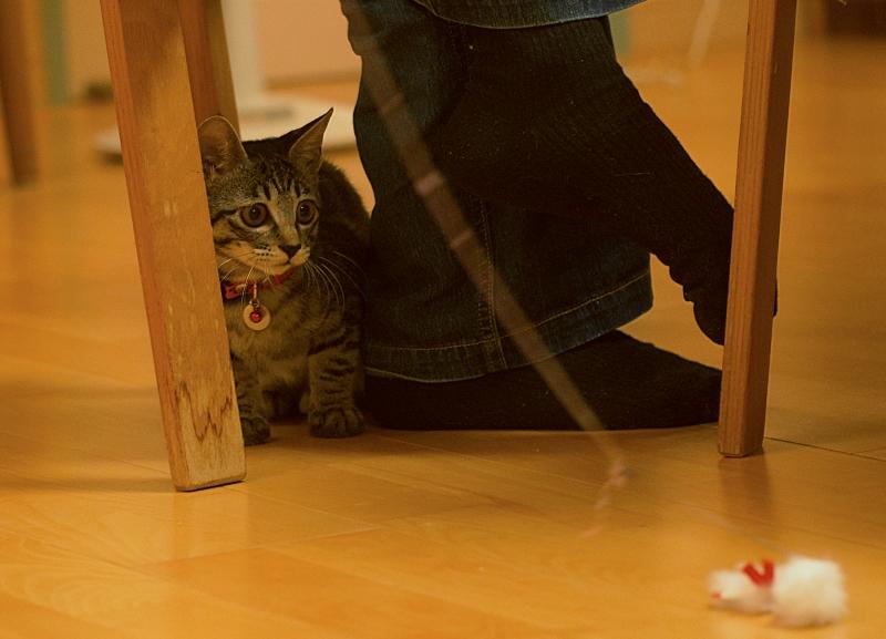 ネコの宿泊可。ペット。ここちゃん 4ヶ月