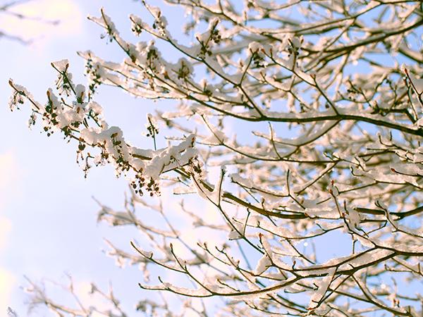遅い雪。八ヶ岳3月の雪