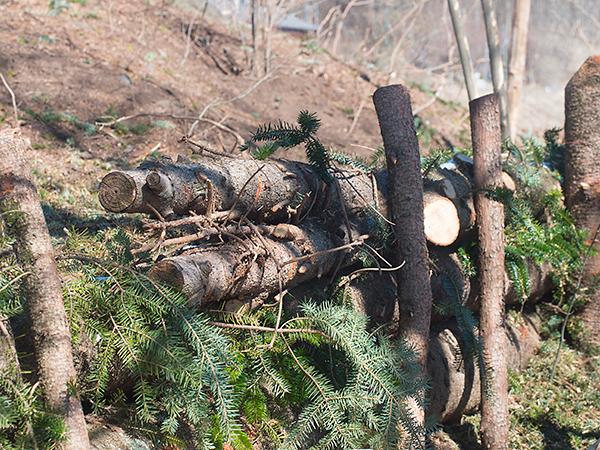 庭の樅の木の伐採