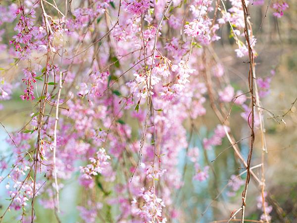 飛沢の池 小さなしだれ桜