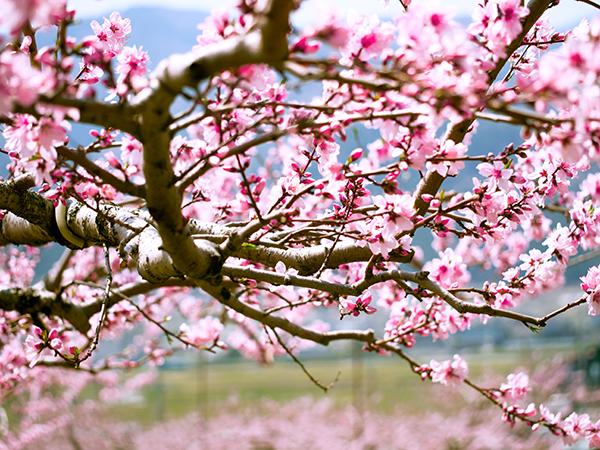 韮崎の桃畑