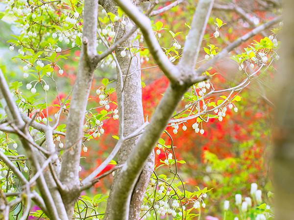 八ヶ岳 庭のツツジ