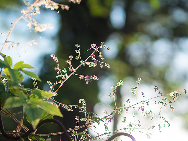 裏庭の様子 カナムグラ