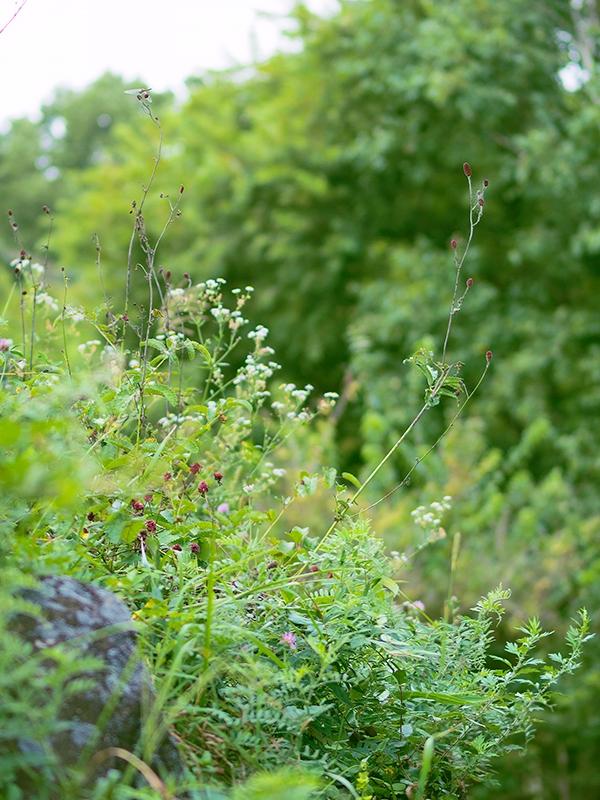 畑の土手に咲くワレモコウ