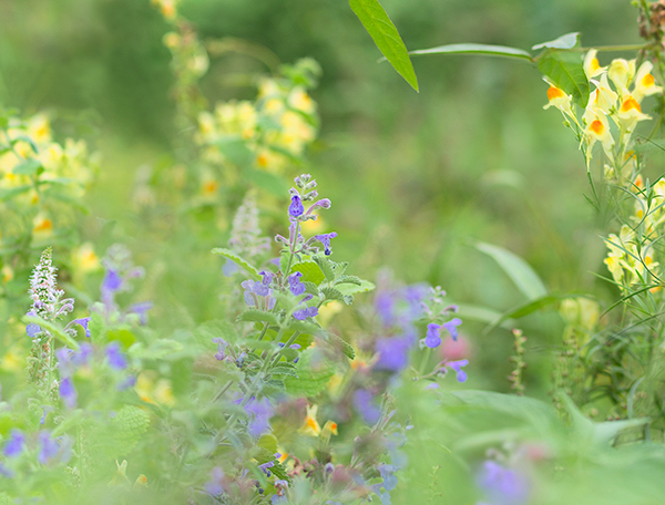 黄色い花とキャットミント